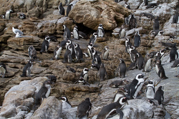 Jackass Penguins, Betty's Bay, South Africa