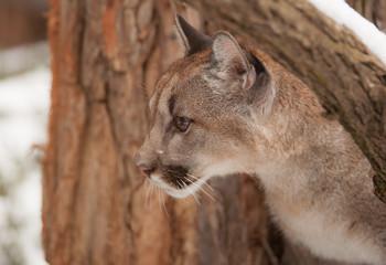 Neugieriger kleiner Puma