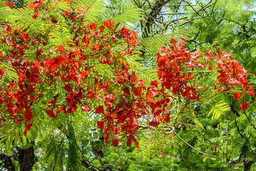 sight of the flowers of a flamboyant in Yucatan, mexico