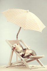 Ferret lazy style portrait on beach chair in studio