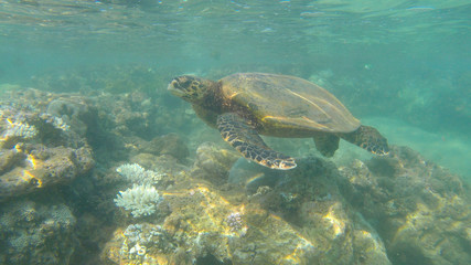 wild turtle on the reef