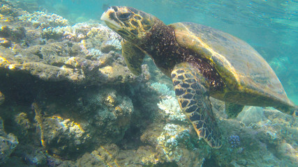 wild turtle in the reef-ocean