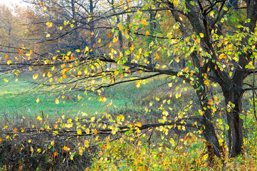 autumn. hazel tree with deciduous leaves
