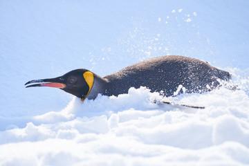 雪の上を滑るキングペンギン