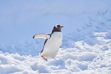 雪の上のジェンツーペンギン