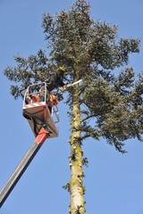 Baumfäller bei der Arbeit an einer hohen Blautanne mit Hubwagen und Motorsäge