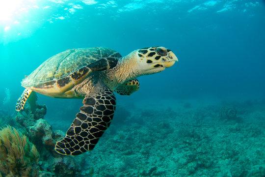 HawksBill Turtle In Florida Keys