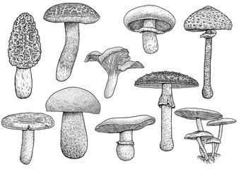 Group of mushroom illustration, drawing, engraving, vector, line