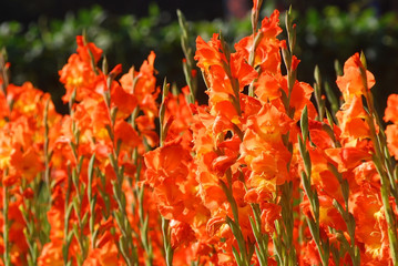 Orange color canna lily