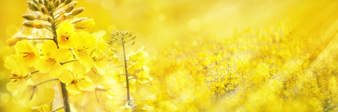 Flowering Rapeseed/Canola Field