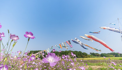 荒川河川敷 麦なでしこ畑とこいのぼり / 埼玉県鴻巣市 荒川河川敷