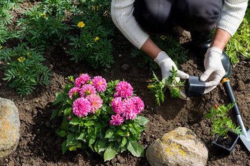 Aluminium Prints Garden Woman is planting african marigold (tagetes) seedlings in the flower garden, horticulture and the flower planting concept