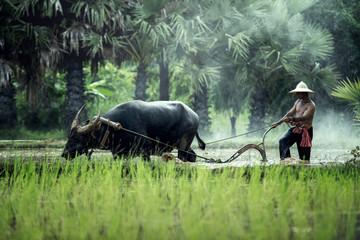 Rice farming with buffalo in thailand