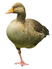 Greylag goose, anser, standing on one foot