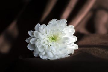 white chrysanthemum flower