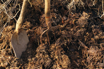 Shovel and pitchfork in a heap of manure. Agricultural works on a kitchen garden