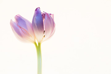 White background with tulip flower
