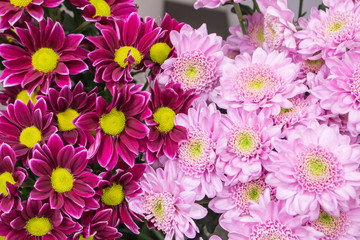 Fresh big pink chrysanthemum closeup