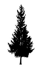 Silhouette of fir tree .
