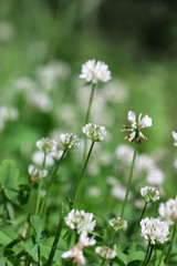 Lawn with the blossoming white Clover in sunny day. Close up. Macro. Vegetable background vertically. Fabaceae Family. Trifolium pratense.