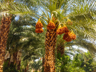 Palm trees. Israel