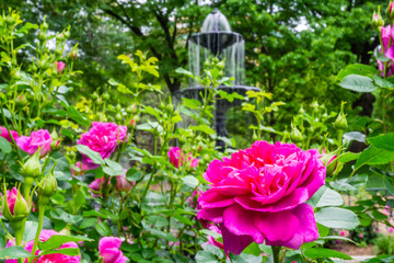 Rose Bush In Front of a Fountain