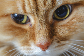 Close-up portrait of the muzzle of a beautiful fluffy ginger or red cat