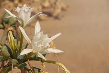 Flower of Pancratium maritimum