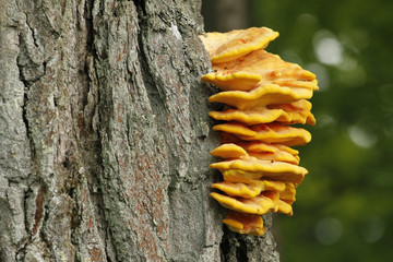 Edible bracket fungus Laetiporus sulphureus also known as chicken of the woods.
