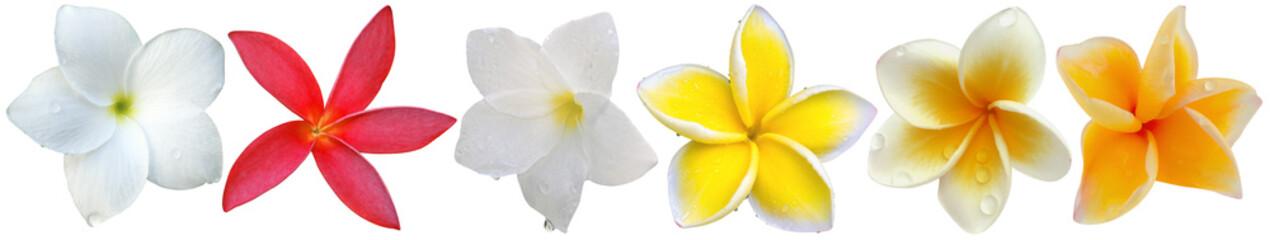 Foto op Canvas Frangipani fleurs de frangipanier, fond blanc