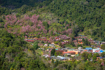 Blooming sakura trees in Doi Ang Khang village, Northern Thailand.