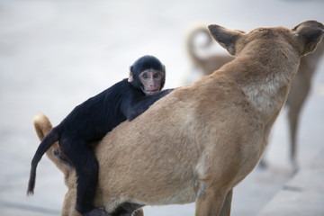 monkey chimpanzee sitting on a street dog and playing with it