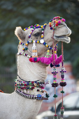 festively dressed up portrait of a camel