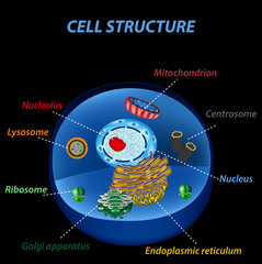 Structure of human cells. Organelles. The core nucleus, endoplasmic reticulum, Golgi apparatus, lysosomes, ribosomes, mitochondria, centriole. Vector illustration on a black background