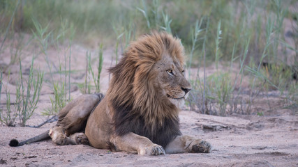 Wall Mural - Male lion in riverbed