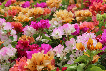 Meadow of Bright Mixed Bougainvillea Flowers