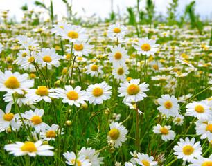 Fototapete -  camomiles on green field
