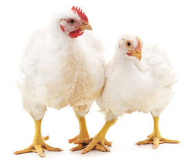 White rooster and hen.