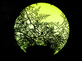 Thuja branches on the yellow moon lantern background photo