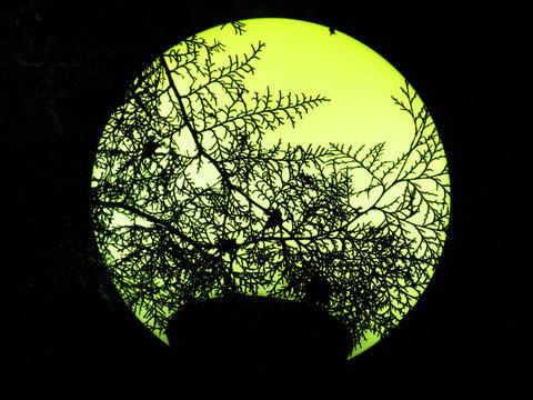 Thuja branches on the yellow moon lantern background photo