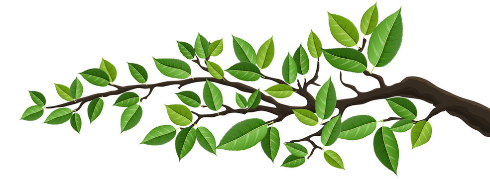 Horizontal banner with tree branch and green leaf, isolated on white. For background, footer, or nature design