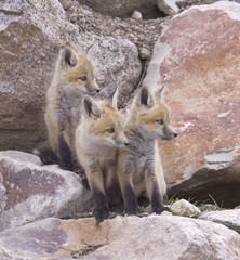 Triple Trouble – A possible adventure grabs the attention of three red fox kits in their front yard in the Rocky Mountains of Colorado.