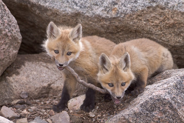Tug of War - Two red fox kits tussle over who gets to keep the stick.