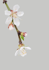 branch of a blooming cherry blossom on gray background