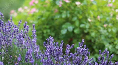 lavendel im garten stockfotos und lizenzfreie bilder auf. Black Bedroom Furniture Sets. Home Design Ideas