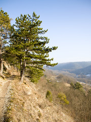 Pinus nigra Kernberghorizontale Jena