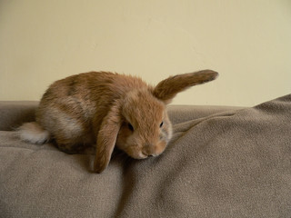 Young cute brown fluffy happy rabbit in room