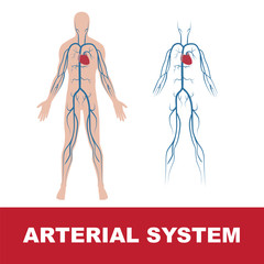vector illustration of human arterial system isolated on white
