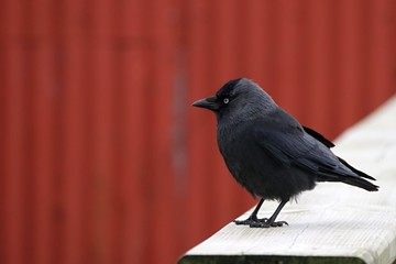 Western jackdaw sitting on the wood with red background