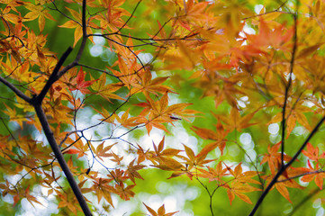 Golden Japanese maple leaves during autumn in Kyoto, Japan